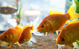 Small Gold Fishes