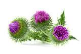 three milk thistles on white