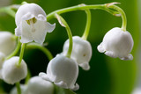 flower lily-of-the-valley  macro closeup