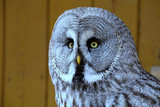 Great Grey Owl, Strix nebulosa portrait,
